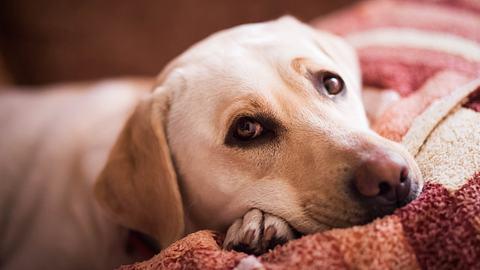 Geht es deinem Hund nicht gut? Diese Anzeichen gibt es. - Foto: Andrii Borodai/istock