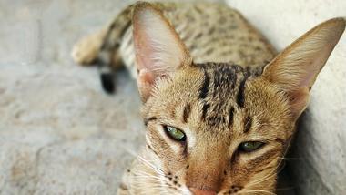 Sieben wunderschöne & exotische Katzenrassen, die nicht jeder hat - Foto: iStock/CaptureStock