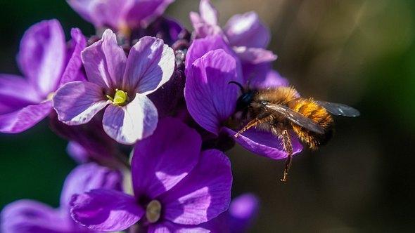 Bienenfreundliche Pflanzen ziehen Bienen an - auf dem Balkon und im Garten - Foto: Martijn Wit/iStock