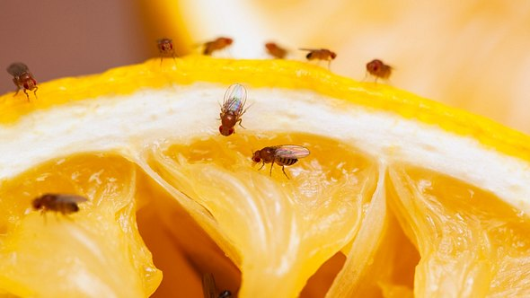 So machst du deine eigene Fruchtfliegenfalle für zuhause. - Foto: Drbouz/iStock