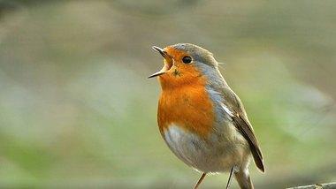 Das Rotkehlchen gehört zu den häufigsten heimischen Vogelarten - Foto: Wouter_Marck/iStock