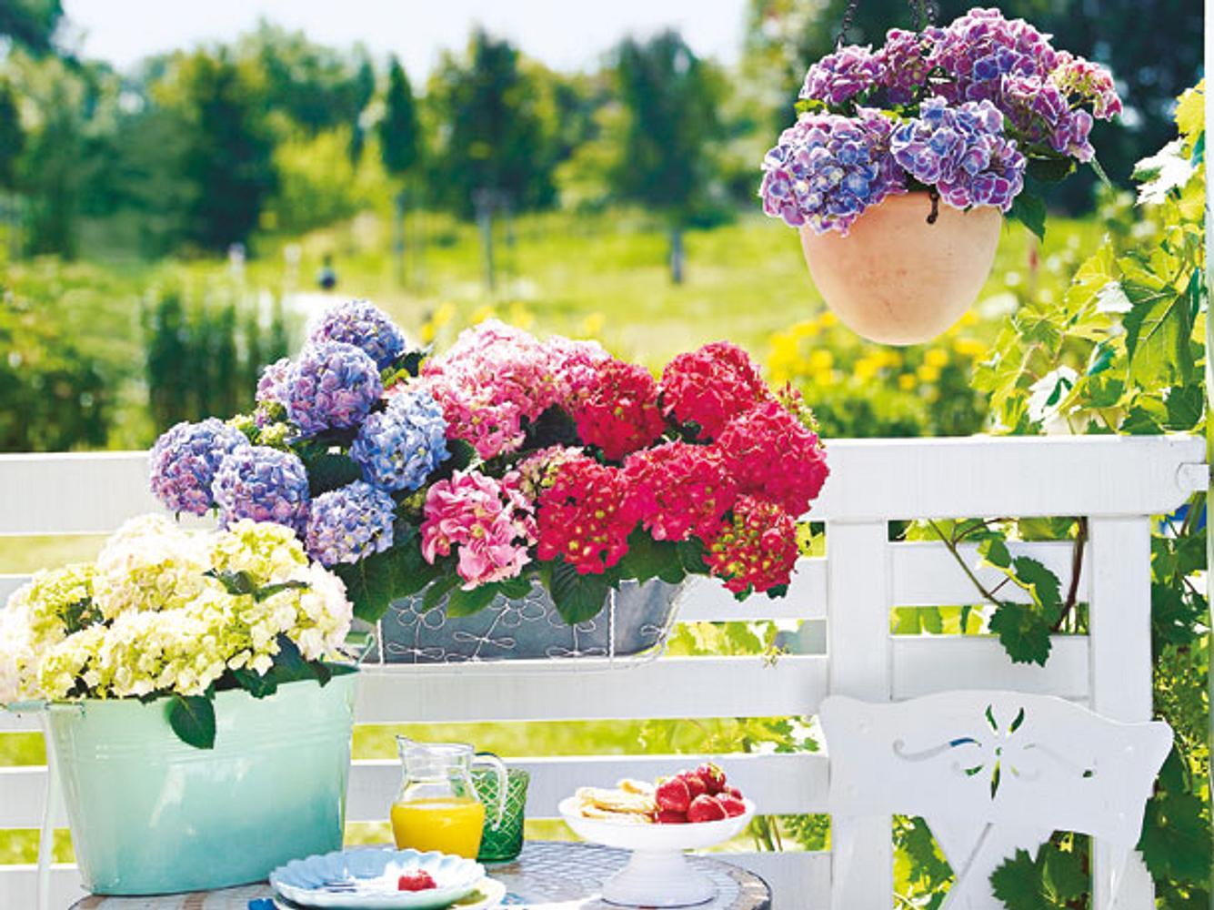 Ob in der Hängeampel, dem Balkonkasten oder im Pflanztopf: Hortensien fühlen sich überall wohl