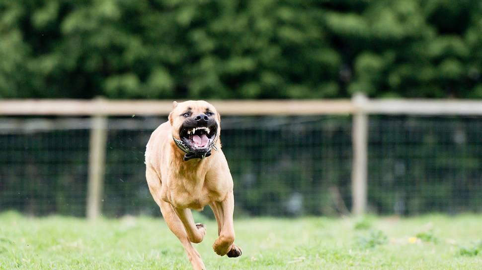 Hund beisst Rentner halb tot - Foto: iStock/dageldog