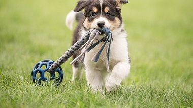 Welches Hunde-Intelligenzspielzeug überzeugt? - Foto: iStock/K_Thalhofer