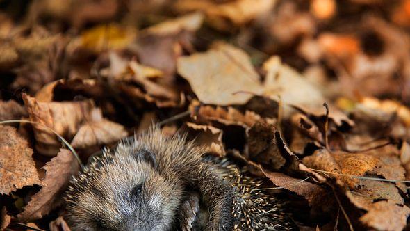 Igel lieben es im Laub zu überwintern. - Foto: DieterMeyrl/iStock