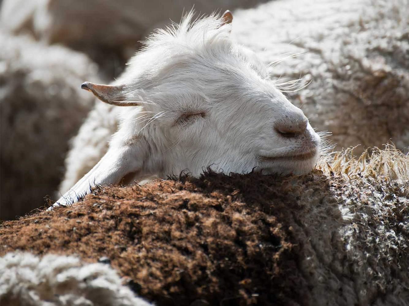 Kaschmir-Ziegen brauchen ihre Wolle. Brauchen wir sie wirklich?