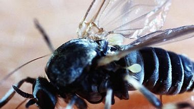 Kriebelmücken-Stiche sind deutlich schmerzhafter als von normalen Mücken - Foto: blickwinkel/imago
