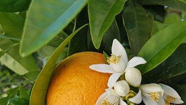 Orangenblütenwasser für schöne Haut. - Foto: iStock/summerphotos