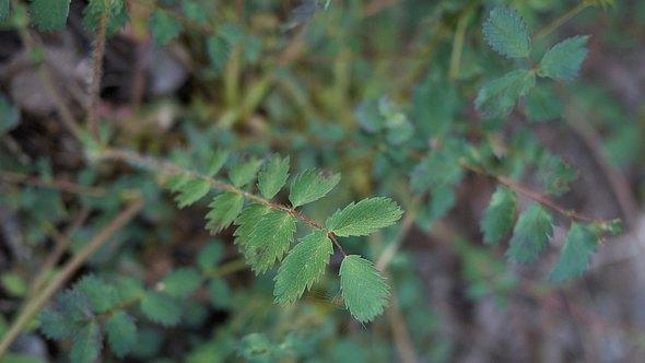 Pimpinelle: Die Blätter des Kleinen Wiesenknopfes sind genießbar - als Heil- und Küchenpflanze - Foto: seven75/iStock