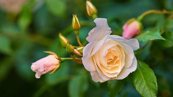 Rosen in Kartoffeln stecken? Eine hervorragende Idee! - Foto: Dhoxax/iStock