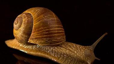 Eine gute Nachricht: Auch wenn das Häuschen einer Schnecke zerbrochen ist, kann die Schnecke eine Überlebenschance haben. - Foto: iStock