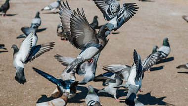 Tauben vertreiben und verjagen: Taubenabwehr für den Balkon - Foto: Constantinis/iStock