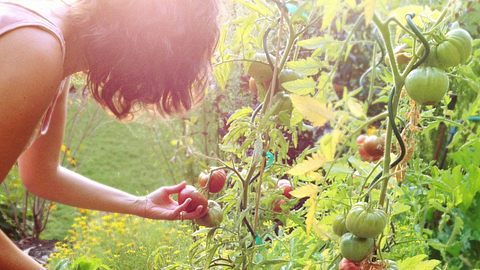 Frau, die reife Tomaten pflückt - Foto: donald_gruener/iStock