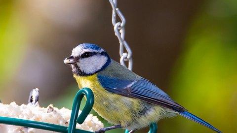 Vögel füttern: Blaumeisen kannst du oft an Futterstellen beobachten - Foto: manfredxy/iStock
