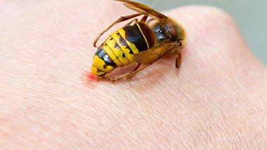 Wespenstichallergie: Wespenstiche können besonders für Allergiker lebensgefährliche Folgen haben. - Foto: fotojog/iStock