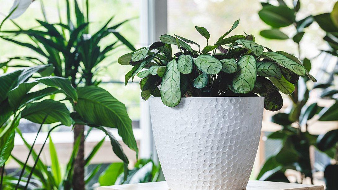 Pflegeleichte Zimmerpflanze auf Hocker vor Fenster - Foto: iStock/Benoitbruchez